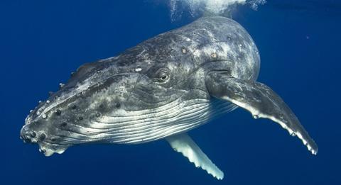 新南威爾士南岸(South Coast)梅利目不拉(Merimbula)的座頭鯨