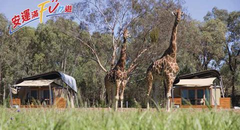 Giraffes roaming ourside the Animal View Zoofari Lodges at Taronga Western Plains Zoo, Dubbo
