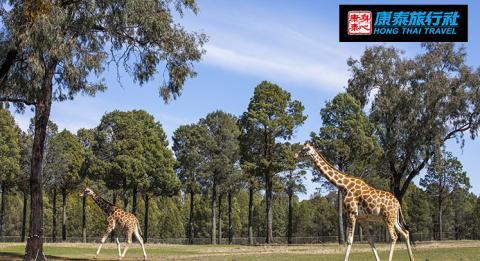 Giraffes frazing at Taronga Western Plains Zoo in Dubbo