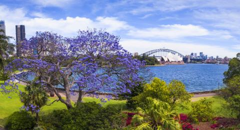 Jacaranda trees in full bloom in Royal Botanic Garden Sydney