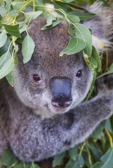 Koala sitting in a gum tree at the Port Macquarie Koala Hospital